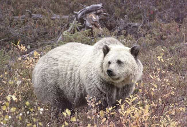 The Grolar Bear Is A Breed Est... is listed (or ranked) 1 on the list 15 Weird Animal Crossbreeds That Actually Exist