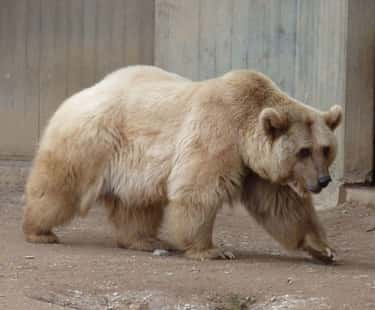 The Grolar Bear Is A Breed Est is listed (or ranked) 2 on the list 15 Weird Animal Crossbreeds That Actually Exist