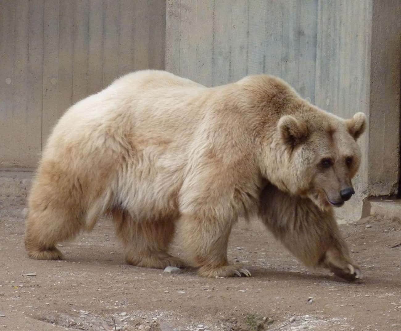 The Grolar Bear Is A Breed Established Thanks To Global Warming