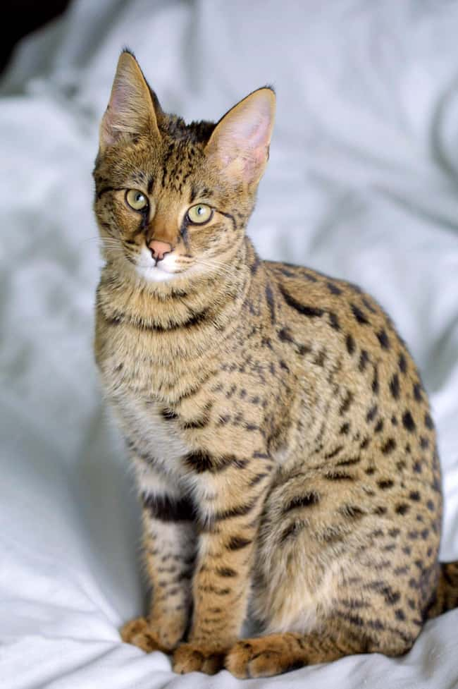 This image has an empty alt attribute; its file name is savannah-cat-photo-u2