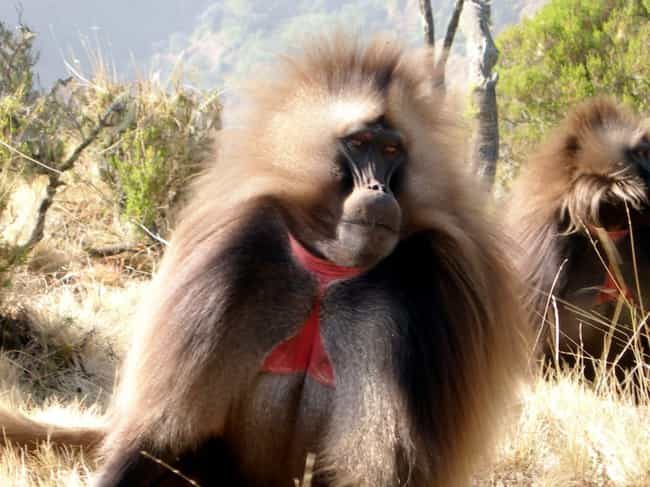 Geladas Are Vegetarians ... is listed (or ranked) 1 on the list 13 Fascinating Things You Might Not Know About Gelada Baboons