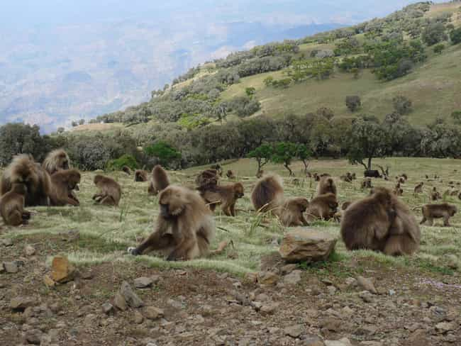 Gelada Baboons Graze In ... is listed (or ranked) 4 on the list 13 Fascinating Things You Might Not Know About Gelada Baboons