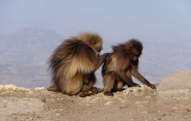 Theirs Are The Most Deve... is listed (or ranked) 2 on the list 13 Fascinating Things You Might Not Know About Gelada Baboons
