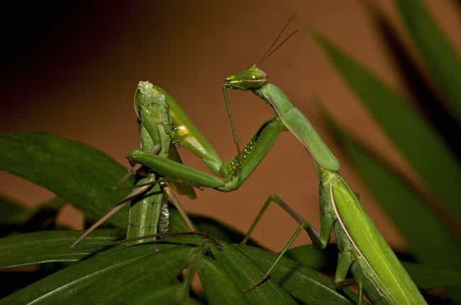 Females Only Eat Males A... is listed (or ranked) 3 on the list 12 Incredible Facts Most People Don't Know About Praying Mantises