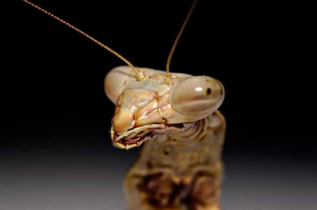 They Can See A Lot Of Th... is listed (or ranked) 2 on the list 12 Incredible Facts Most People Don't Know About Praying Mantises