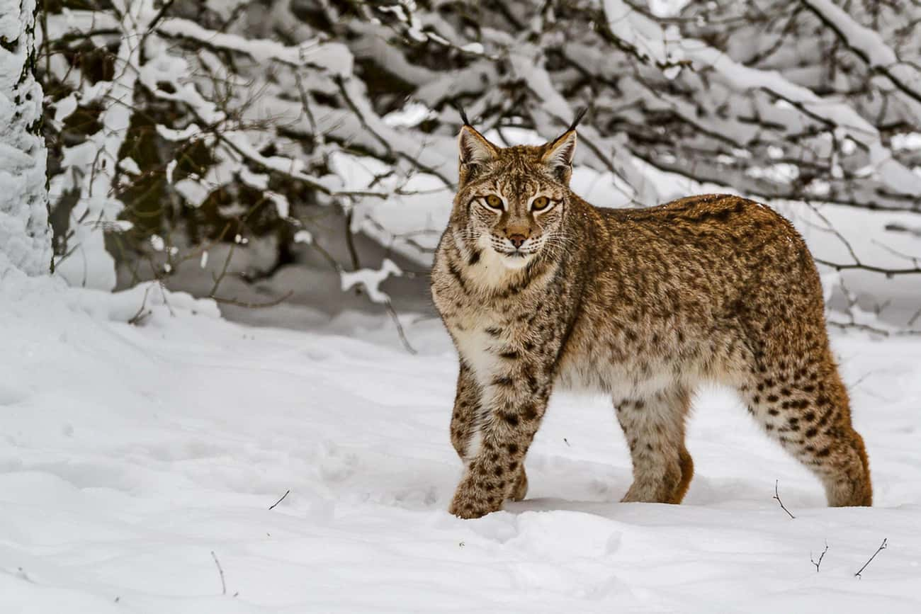 A Lynx Once Thought To Be Non- is listed (or ranked) 2 on the list 9 Fascinating Radioactive Animals That Exist As A Result Of Chernobyl