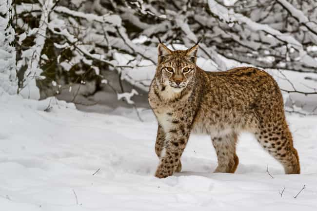 A Lynx Once Thought To B... is listed (or ranked) 2 on the list 9 Fascinating Radioactive Animals That Exist As A Result Of Chernobyl