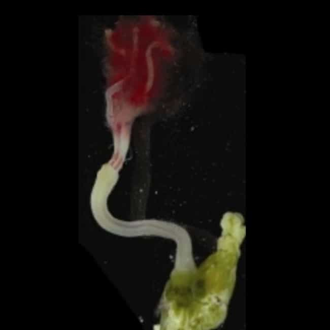Zombie Worm is listed (or ranked) 2 on the list The Creepy Creatures Who Live In The Mariana Trench