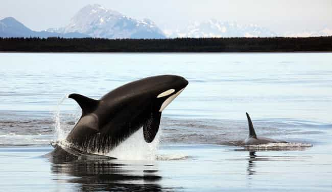 A Mother's Pregnancy Lasts... is listed (or ranked) 2 on the list Fascinating Facts Most Folks Don't Know About Killer Whales: The Sea's Most Brilliant Hunters