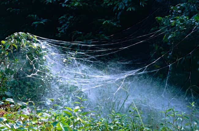 They Are Cooperating To ... is listed (or ranked) 1 on the list All About Social Spiders, The Spiders That Live Together In Enormous Webs