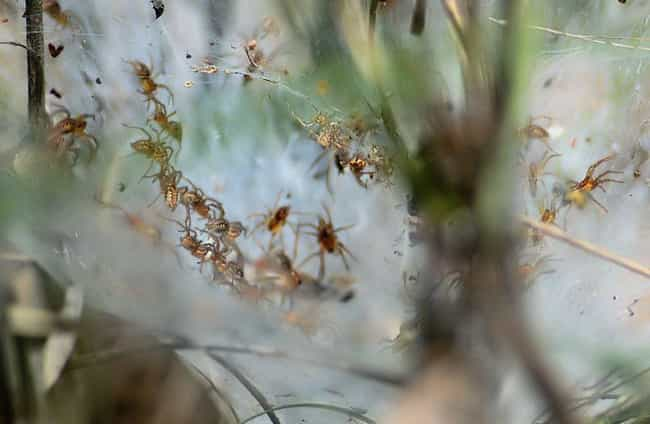 Each Social Spider Has T... is listed (or ranked) 3 on the list All About Social Spiders, The Spiders That Live Together In Enormous Webs