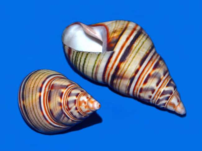These Shells Prove Strip... is listed (or ranked) 2 on the list 20 Stunningly Beautiful Tree Snail Specimens