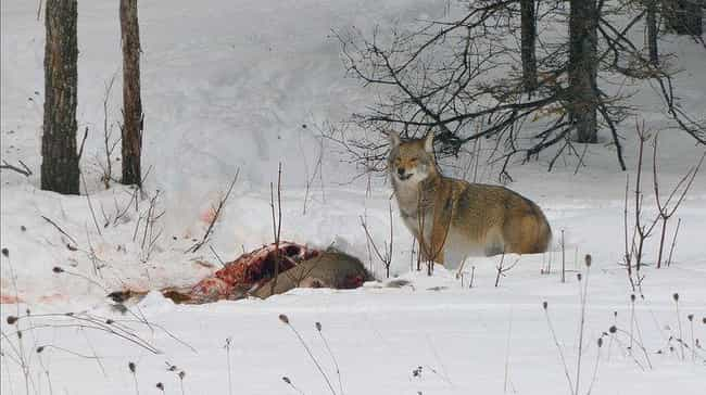 They Are Not Afraid Of H... is listed (or ranked) 2 on the list Meet The Coywolf, A New Species That's Taking Over America
