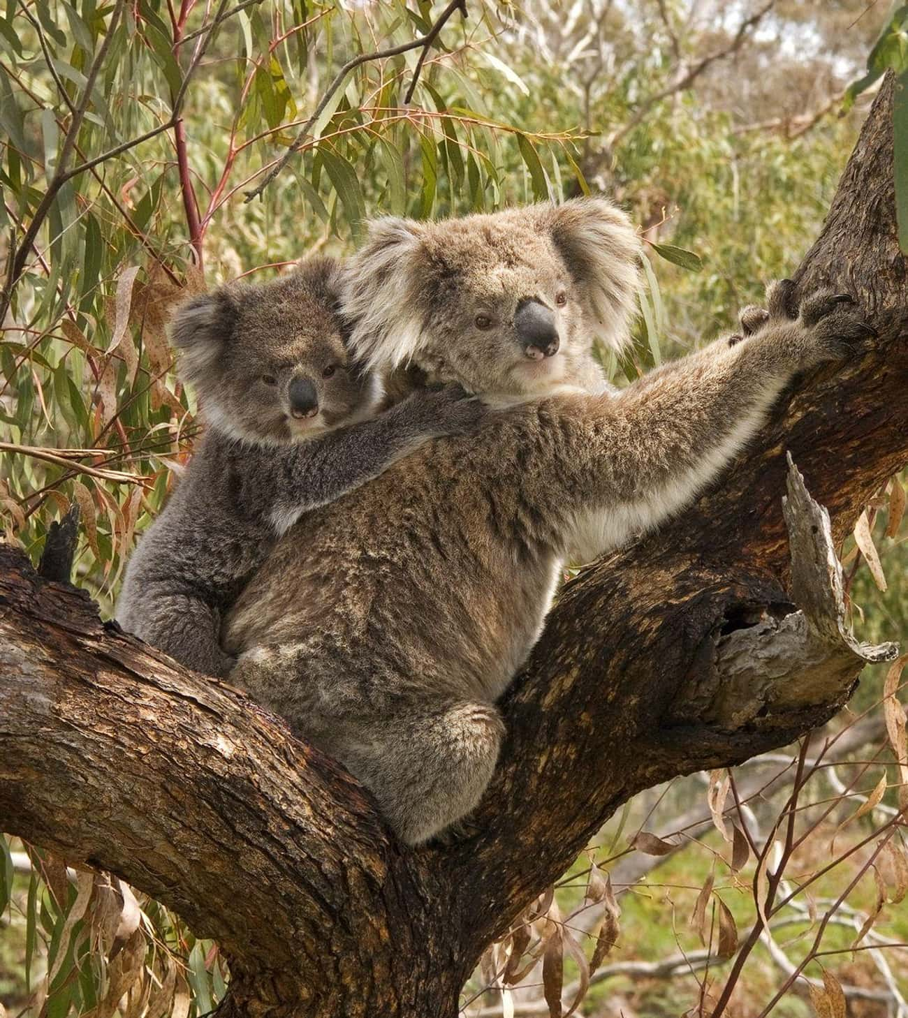 Koala Young Eat Their Mom' is listed (or ranked) 3 on the list 9 Facts That Will Absolutely Ruin Your Perception of Koalas