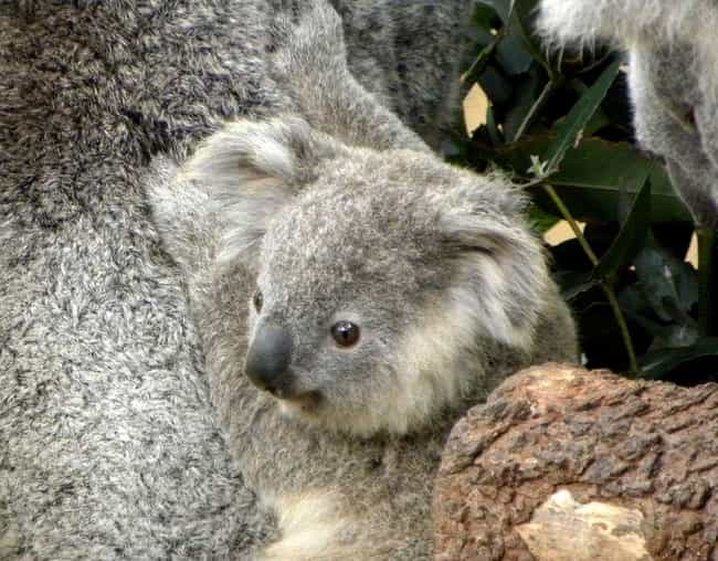 Koala Young Eat Their Mom'... is listed (or ranked) 3 on the list Brutal And Terrifying Facts About Koalas, Who Are Actually Hateful And Miserable Animals