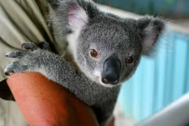 Koalas Are Plagued By A Highly Infectious Strain Of Chlamydia