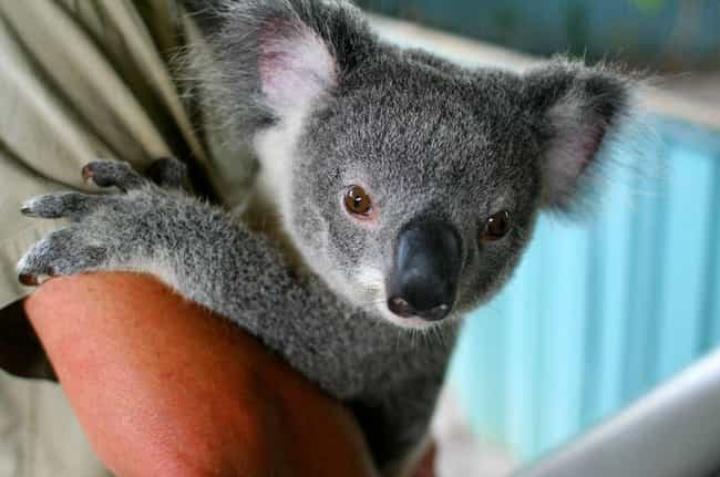Koalas Are Positively Riddled ... is listed (or ranked) 1 on the list Brutal And Terrifying Facts About Koalas, Who Are Actually Hateful And Miserable Animals