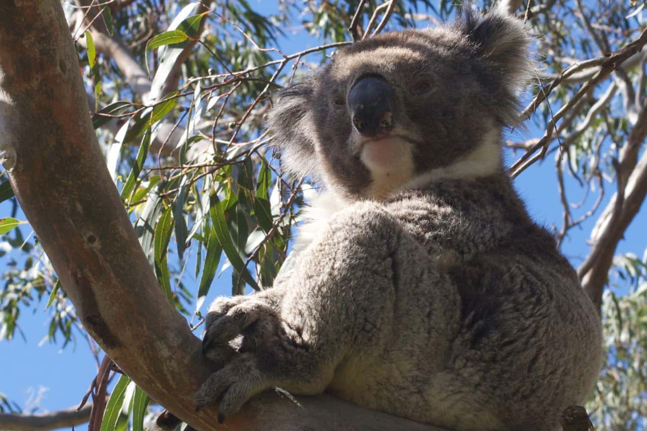 They Can Be More Aggressive Th is listed (or ranked) 2 on the list 9 Facts That Will Absolutely Ruin Your Perception of Koalas