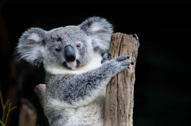They Can Be More Aggressive Th... is listed (or ranked) 2 on the list Brutal And Terrifying Facts About Koalas, Who Are Actually Hateful And Miserable Animals
