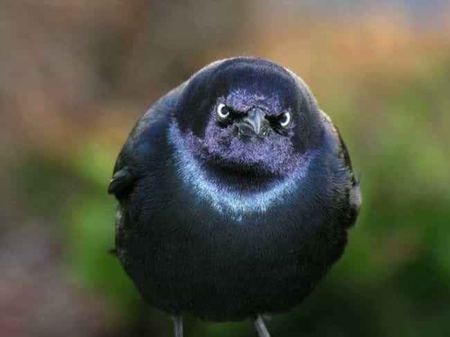 A Kind Chirp. Ain't Nobody... is listed (or ranked) 4 on the list 24 Actual Angry Birds That Are Outraged By Your Existence