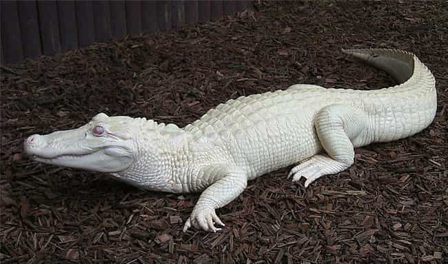 Albino Alligator Relaxes... is listed (or ranked) 1 on the list Absolutely Amazing Albino Aquatic Animals