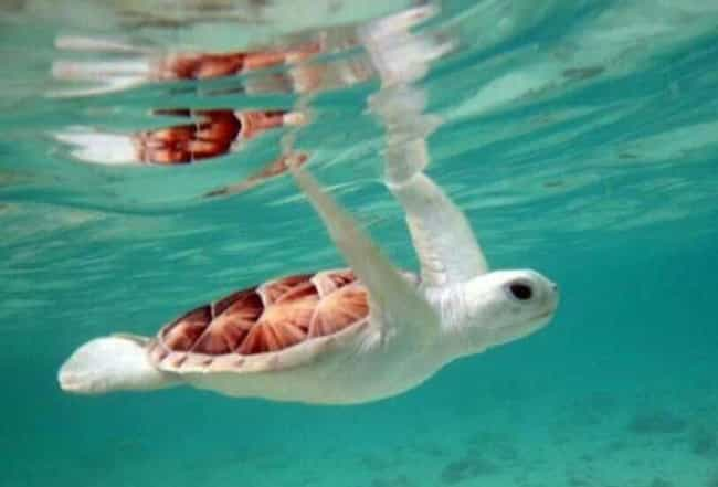 This Sea Turtle Loves Th... is listed (or ranked) 2 on the list Absolutely Amazing Albino Aquatic Animals