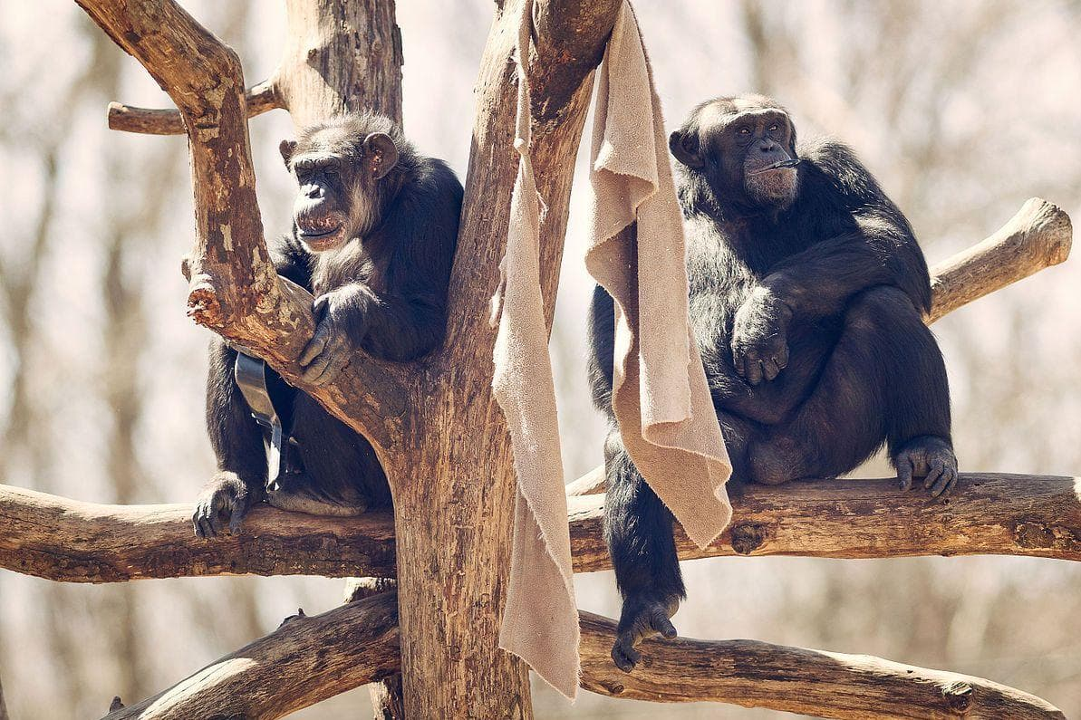 Random Ways Chimpanzees Are Just as Brutal as Humans