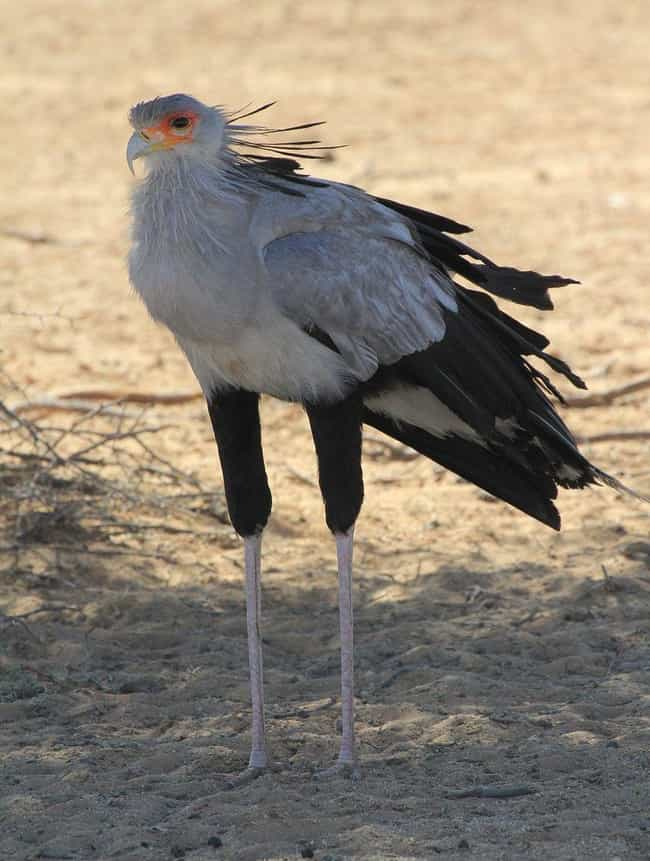 Secretary Birds Can Grow... is listed (or ranked) 3 on the list 12 Fascinating Facts About The Secretary Bird, A Snake-Killing Badass