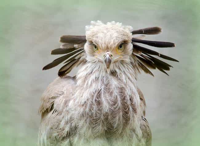 These Birds Terrorize Th... is listed (or ranked) 1 on the list 12 Fascinating Facts About The Secretary Bird, A Snake-Killing Badass