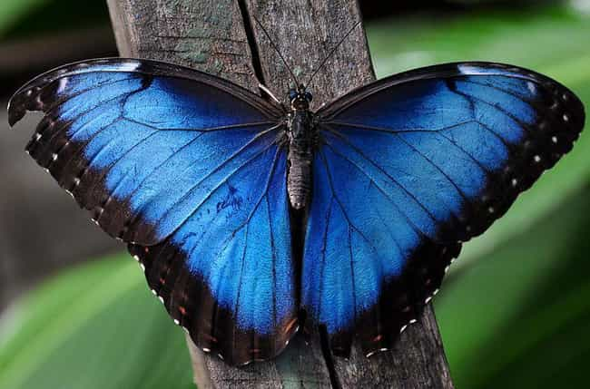 The Blue Morpho Gets Its... is listed (or ranked) 1 on the list The World's Most Beautiful Butterflies