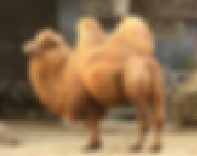 Humps Store Fat So They Can Go... is listed (or ranked) 1 on the list Things You Never Knew About Camels, Some Of The Oddest Creatures On Land