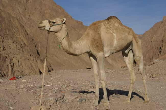 They Have Some Of The Mo... is listed (or ranked) 2 on the list Things You Never Knew About Camels, Some Of The Oddest Creatures On Land