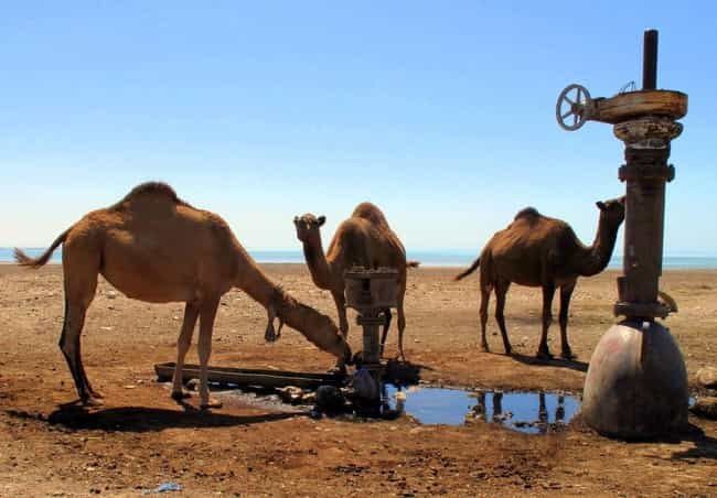 They Have Specially Shap... is listed (or ranked) 3 on the list Things You Never Knew About Camels, Some Of The Oddest Creatures On Land