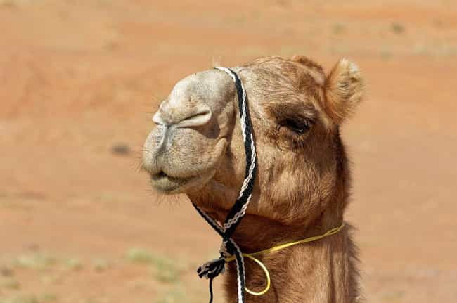The Hump Also Helps Came... is listed (or ranked) 4 on the list Things You Never Knew About Camels, Some Of The Oddest Creatures On Land