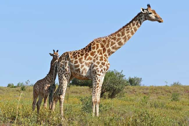 Giraffes Have To Survive... is listed (or ranked) 1 on the list 11 Baby Animals That Have To Go Through Brutal Gauntlets To Survive