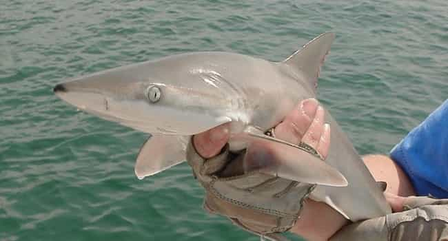 Shark Babies Eat Their Sibling... is listed (or ranked) 3 on the list 11 Baby Animals That Have To Go Through Brutal Gauntlets To Survive