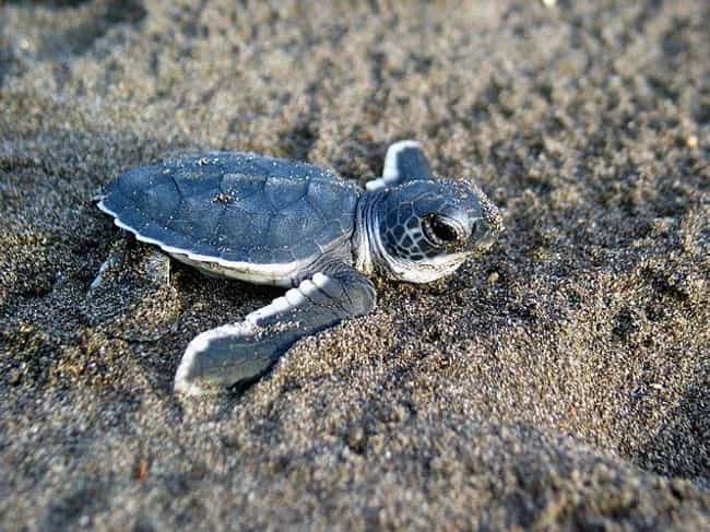 Baby Sea Turtles Make A Long, ... is listed (or ranked) 4 on the list 11 Baby Animals That Have To Go Through Brutal Gauntlets To Survive