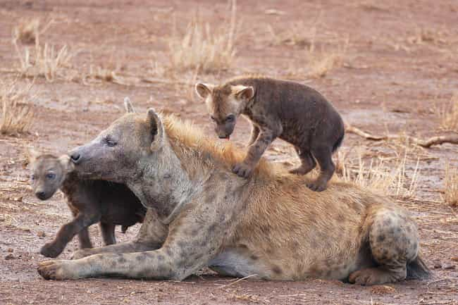 Spotted Hyenas Must Lear... is listed (or ranked) 2 on the list 11 Baby Animals That Have To Go Through Brutal Gauntlets To Survive