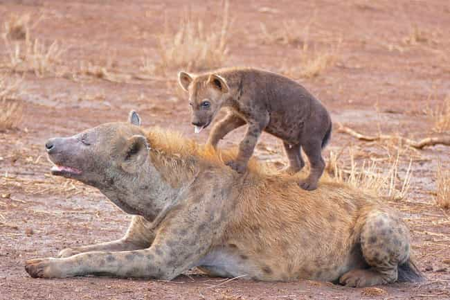 Spotted Hyenas Must Learn To K... is listed (or ranked) 2 on the list 11 Baby Animals That Have To Go Through Brutal Gauntlets To Survive