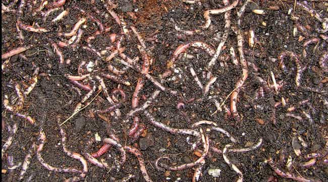 They Improve The Quality... is listed (or ranked) 3 on the list 11 Insanely Awesome Facts About Earthworms