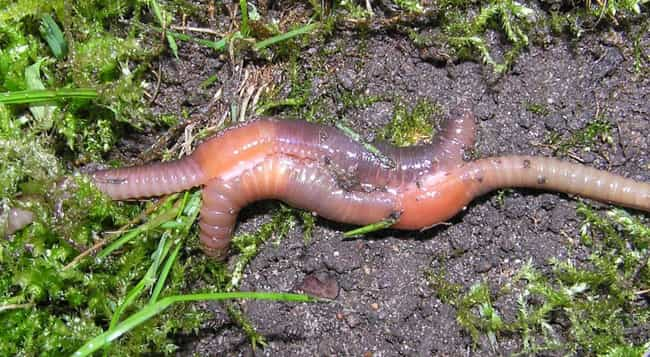 They're Hermaphroditic ... is listed (or ranked) 4 on the list 11 Insanely Awesome Facts About Earthworms
