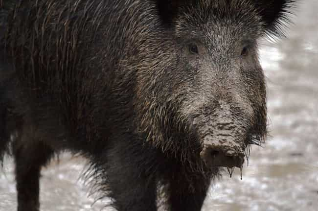 Radioactive Wild Boars G... is listed (or ranked) 2 on the list Here Are The Radioactive Animals Living In Fukushima