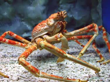 They Can Grow To Be Over Twelv is listed (or ranked) 1 on the list 11 Facts About Japanese Spider Crabs That Will Keep You Up At Night