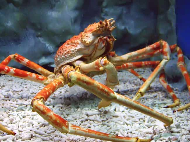 Spider Crabs With 13-Foot-Long Legs
