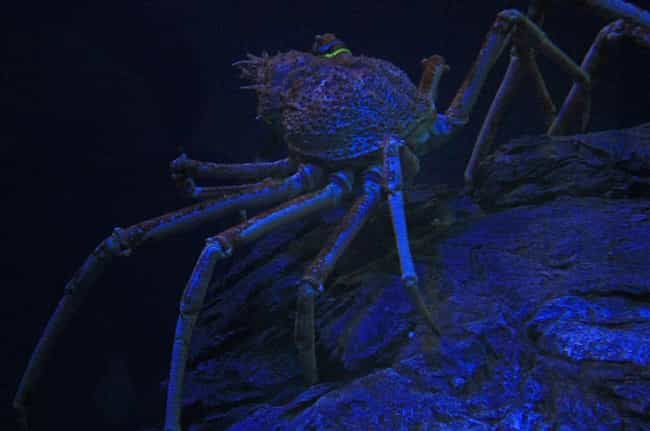 They Don't Only Live In Th... is listed (or ranked) 3 on the list 11 Facts About Japanese Spider Crabs That Will Keep You Up At Night