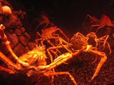 They'll Eat Just About Any is listed (or ranked) 2 on the list 11 Facts About Japanese Spider Crabs That Will Keep You Up At Night