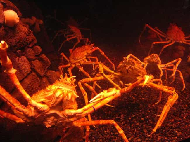 They'll Eat Just About A... is listed (or ranked) 2 on the list 11 Facts About Japanese Spider Crabs That Will Keep You Up At Night