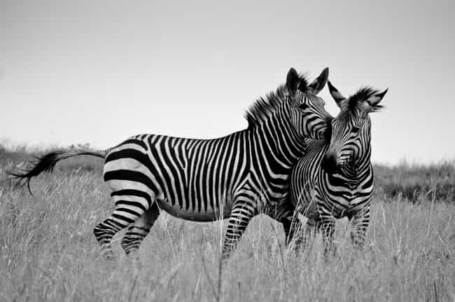 Zebras Are Too Wild To Be Tame... is listed (or ranked) 1 on the list Crazy Facts About The Plains Zebra - The Bad Boy Of The Horse World