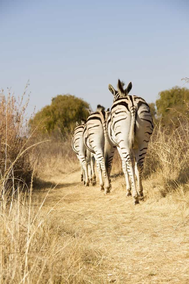 Most Can Never Be Ridden is listed (or ranked) 2 on the list Crazy Facts About The Plains Zebra - The Bad Boy Of The Horse World