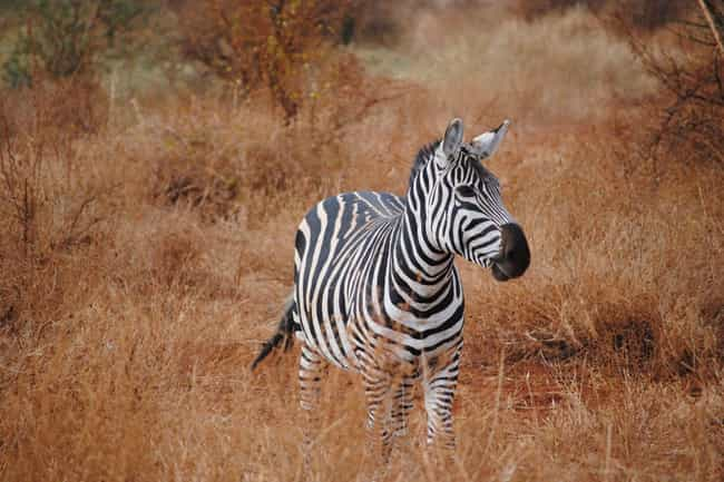 They Travel An Average Of 1,80... is listed (or ranked) 4 on the list Crazy Facts About The Plains Zebra - The Bad Boy Of The Horse World